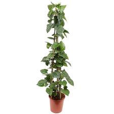 Piper Sarmentosum 150 cm