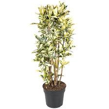 Croton Tamara 130 cm