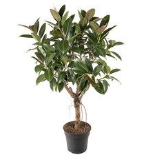 Ficus Elastica Melany 110 cm