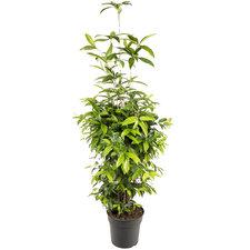 Dracaena Surculosa 110 cm
