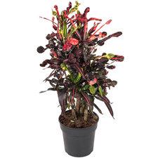 Croton Mammi 100 cm
