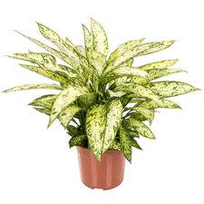 Dieffenbachia Vesuvius 70 cm