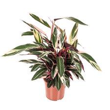 Calathea Stromanthe Triostar 100 cm