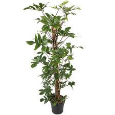 Philodendron Pedatum 150 cm