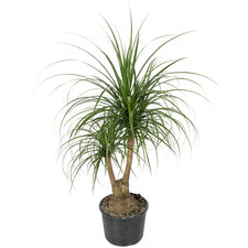 Beaucarnea vertakt 70 cm