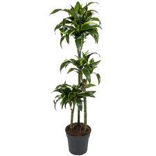 Dracaena Dorado 140 cm