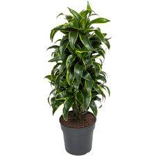 Dracaena Dorado 110 cm