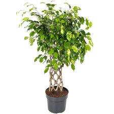 Ficus Exotica 110 cm