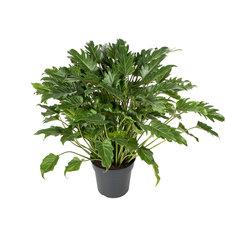 Philodendron Xanadu 60 cm