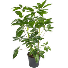 Schefflera Amate 90 cm