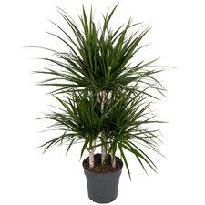 Dracaena Marginata 100 cm