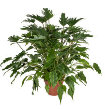 Philodendron Xanadu 50 cm