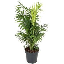 Chamaedorea Elegans 50 cm