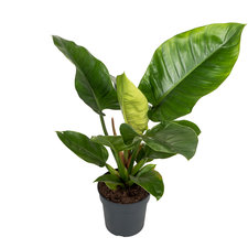 Philodendron Imperial Green 60 cm
