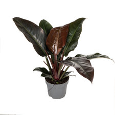 Philodendron Imperial Red 50 cm