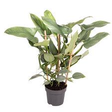 Philodendron Silver Queen rek 50 cm