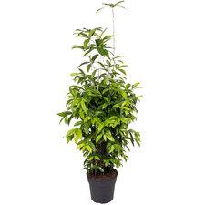 Dracaena Surculosa 140 cm