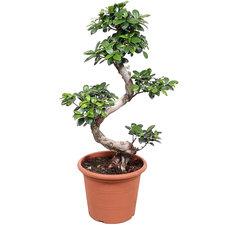 Ficus Microcarpa 70 cm