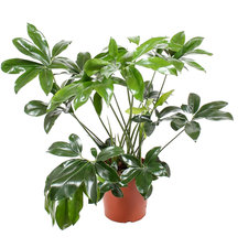 Philodendron Green Wonder 120 cm
