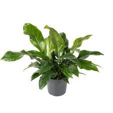 Anthurium Jungle Bush 65 cm Ø30
