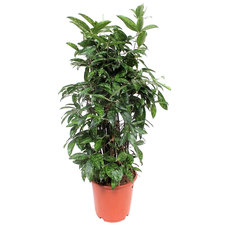 Dracaena Surculosa 80 cm