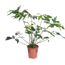 Philodendron Green Wonder 120 cm Ø30