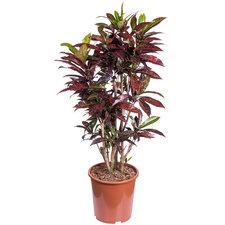 Croton Freckles 110 cm