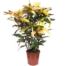 Croton Mango 140 cm Ø30