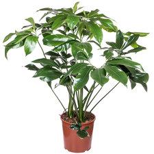 Philodendron Green Wonder 110 cm Ø27