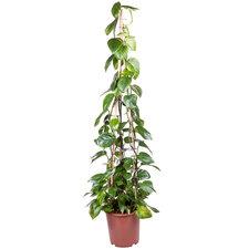 Epipremnum Scindapsus 160 cm
