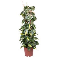 Philodendron Scandens Brasil 120 cm