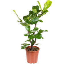 Ficus Lyrata 140 cm Ø30
