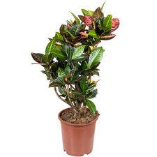 Croton Petra 100 cm