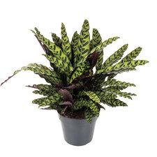 Calathea Lancifolia 65 cm Ø27