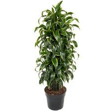 Dracaena Dorado 130 cm