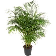 Areca palm 150 cm Ø31
