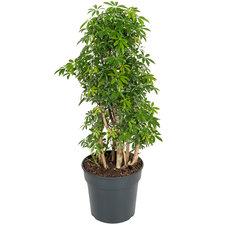 Schefflera Luseana 90 cm