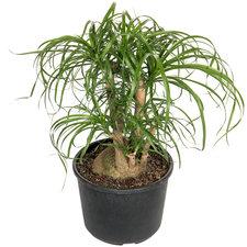 Beaucarnea vertakt 70 cm Ø26