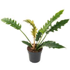 Philodendron Narrow 50 cm Ø19