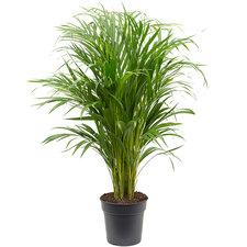 Areca palm 90 cm Ø21