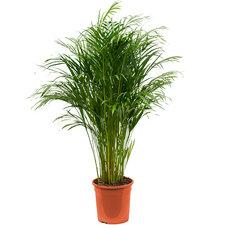 Areca palm 120 cm Ø24