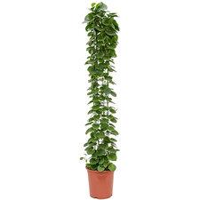 Cissus Rotundifolia 160 cm Ø27