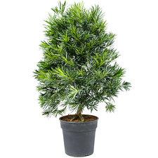 Podocarpus Macrophyllus 120 cm Ø30