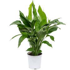 Spathiphyllum Sweet Lauretta 90 cm Ø24