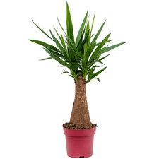 Yucca 85 cm Ø21
