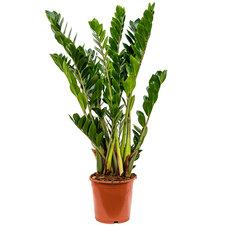 Zamioculcas Zamiifolia 110 cm Ø21