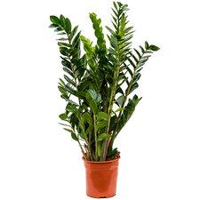 Zamioculcas Zamiifolia 80 cm Ø24