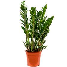 Zamioculcas Zamiifolia 70 cm Ø27