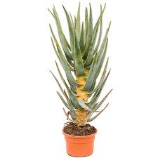 Aloe Dichotoma 85 cm Ø19