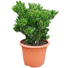 Crassula Horntree 55 cm Ø30